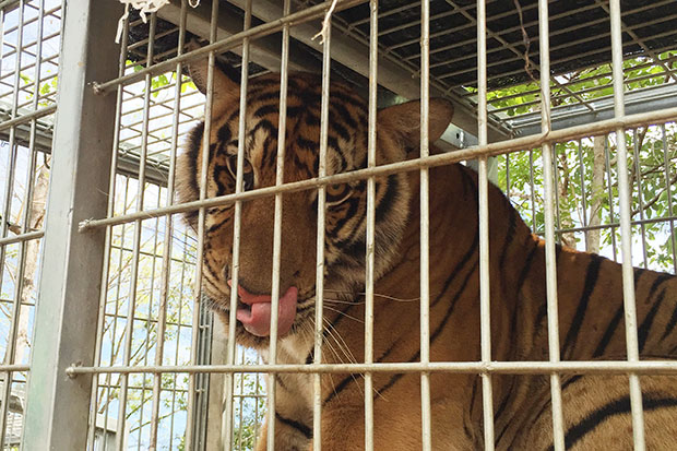 One of the temple's 147 tigers is pictured during the five-day operation to relocate the big cats from the Tiger Temple in Sai Yok district, Kanchanaburi, which began on May 30. (Photo by Piyarach Chongcharoen)