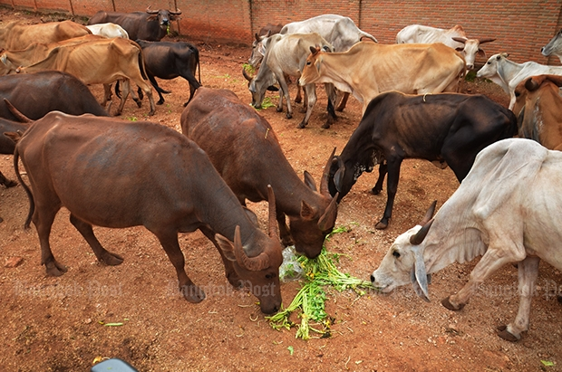 Some cattle are fed with a few bunches of morning glory while a large number of animals are still starving.