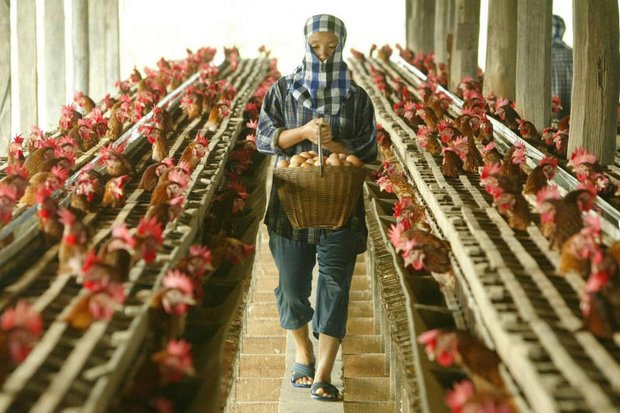 A worker collects eggs at a chicken farm in Suphan Buri province. Begagro has severed relations with a nearby farm in Lop Buri after charges the owner was mistreating migrant labourers. (Reuters photo via Oxfam)