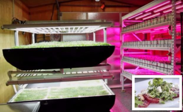 The trays used to grow microgreens in vertical farming with LED lights shining down in the trays 24/7 (Source: YouTube).