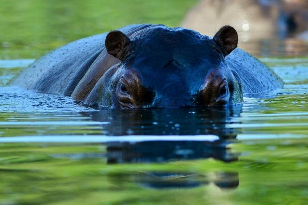 Drug lord Pablo Escobar was killed, his gang imprisoned - and his two pet hippos in the past 20 years have turned into a Colombian hippo herd. (AFP photo)