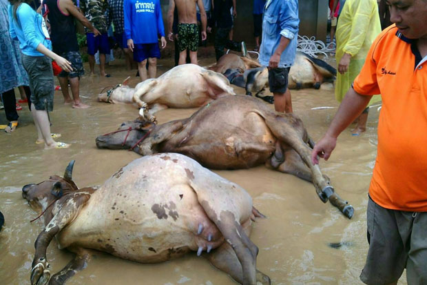 These cattle were caught in the flood and drowned in Pong district, Phayao, on Monday. (Photo by Saiarun Pinaduang)