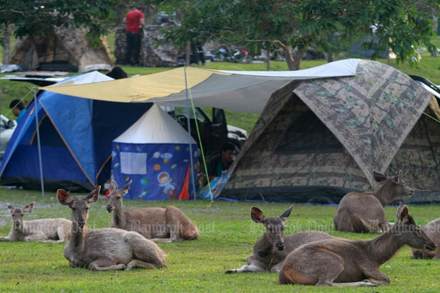 Deer rest near tourists' tents at a campsite at Khao Yai National Park in Nakhon Ratchasima province. The Department of National Parks, Wildlife and Plant Conservation plans to limit the number of visitors to national parks with an online ticketing system. (Photo by Thanarak Khunton)