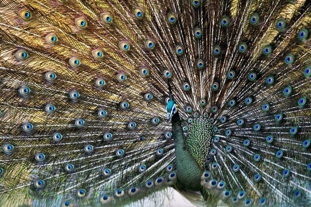 A male peacock displays his feathers at the Hlawga National Park, in Mingaladon, north of Yangon. Myanmar's peacocks are becoming ever harder to spot in the wild. (AFP photo)