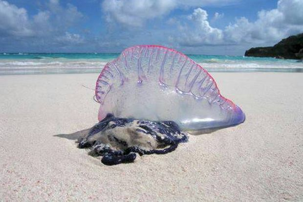 A Portuguese man-of-war is shown on a beach in Phuket. The Portuguese man-of-war is a siphonophore, an animal made up of a colony of organisms working together. It gets the name from the uppermost polyp, a gas-filled bladder, or pneumatophore, which sits above the water and somewhat resembles an old warship at full sail. (Photo by Achadtaya Chuenniran)