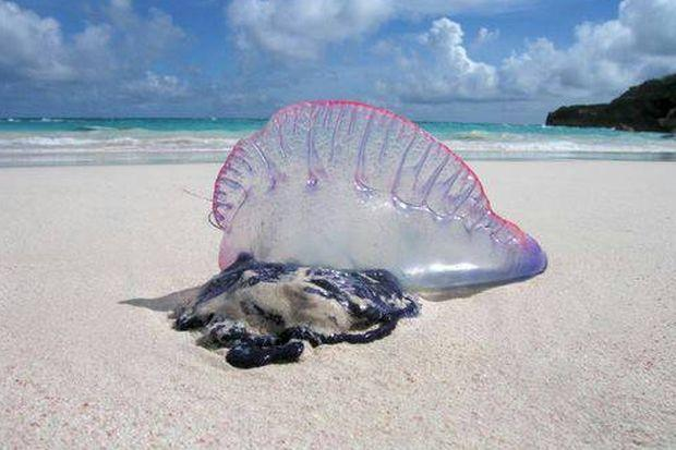 A Portuguese man-of-war washed up on a beach in Phuket. The stingers hang below the blue float when it is in the water and can still cause pain when it is dead. (Photo by Achadtaya Chuenniran)