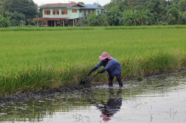 61-year-old Boonsong Kraiperm laboured frantically Monday to try to build a small dyke to keep the water out of his Ayutthaya rice field - not quite ready to harvest. (Photo by Wichan Charoenkiatpakul)