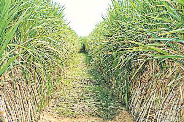 Thailand's 2016/17 sugar cane crop is expected to drop by 3 million tonnes due to the recent drought.