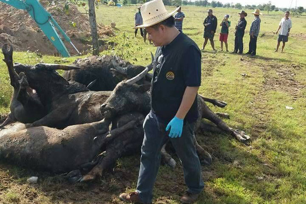 A livestock official inspects some of the 21 buffaloes that died suddenly of a still undiagnosed disease at a village in Prachin Buri's Kabin Buri district, as an excavator digs a hole to bury them in the field. (Photo by Manit Sanubboon)