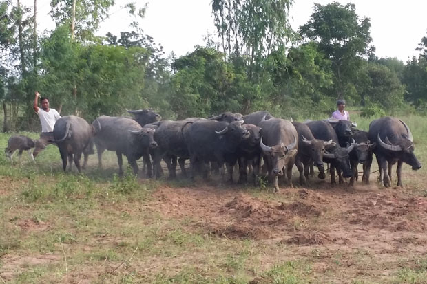 Farmers herd their buffaloes in Sa Kaeo province as local livestock authorities have confirmed they have controlled an outbreak earlier killing the animals. (Photo by Sawat Ketngam)