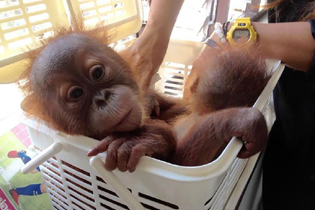 An image released by the animal-protection group Freeland shows an infant orangutan at an animal clinic rescued after it was rescued in Bangkok on Wednesday. (AFP Photo/SARAYOUTH PHALEEBATRA/ASIAWORKS)