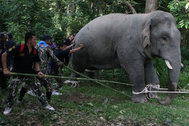 One of the tranquilised wild elephants is prodded and pulled toward a large truck, which then carried him to Bang Lang National Park in Betong district of Yala, where he was released, in Narathiwat province on Monday. (Photo by Waedao Harai)