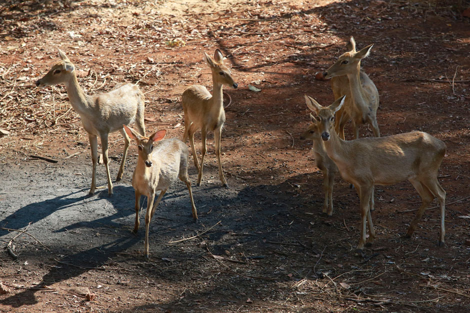 Deer forage for food at the Tiger Temple on Thursday before being moved to a wildlife centre. (Photo by Pattanapong Hirunard)