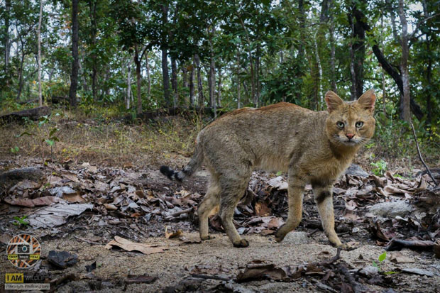 This picture of a wild jungle cat was reportedly taken at the Omkoi Wildlife Sanctuary in Chiang Mai province by freelance photographer Parinya Phadungthin (photo: Department of National Parks, Wildlife and Plant Conservation)