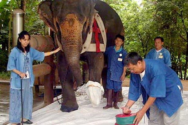 Soraida Salwala and her Friends of the Asian Elephant helped elephants like Motola (above) back to health, but now are close to bankruptcy. (EPA file photo)