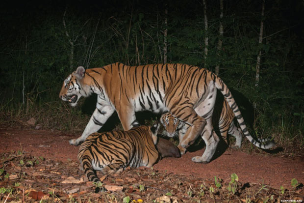 In this 2016 photo, two tiger cubs investigate a rock along a forest trail as their mother walks past in the jungle in eastern Thailand. (Thailand's Department of National Parks, Wildlife and Plant Conservation/Freeland via AP)