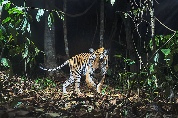 The tiger population is increasing in their major habitats in the Western Forest Complex's Huai Kha Kaeng-Thung Yai Wildlife Sanctuary. Hopes are high Thailand will double its tiger population by 2022. (Photo courtesy Parinya Padungtin)