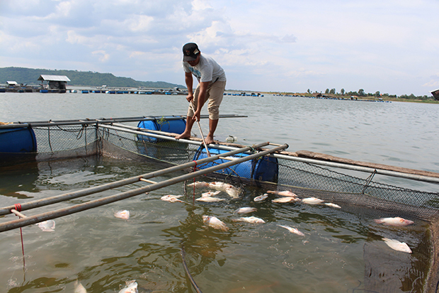 Daily chore: Farmer Sompong Wongbao scoops dead fish from the water at Lamsae Dam reservoir in Nakhon Ratchasima. (Photo by Prasit Tangprasert)