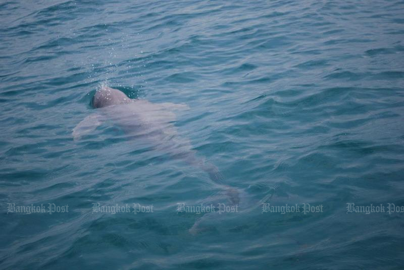 An Irrawaddy dolphin. (Bangkok Post file photo)