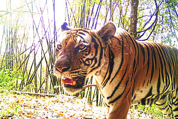 A tiger in Mae Wong National Park in Nakhon Sawan where researchers from WWF recently found six newborn cubs. National Park, Wildlife and Plant Conservation Dept photo
