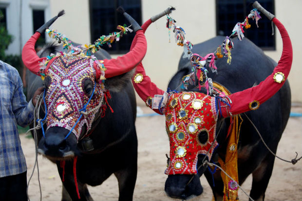 Buffalos are seen decorated during during the last day of Pchum Ben festival, or the festival of the dead, at Virhear Sour village in Kandal province, Cambodia, on Wednesday. (Reuters photo)
