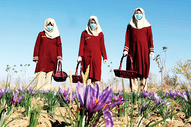 SEEDS OF GROWTH: Afghan women collect saffron flowers in the Karukh district of Herat. The plant is seen as an alternative to poppy cultivation and international buyers have been attracted for its good quality. PHOTO: EPA