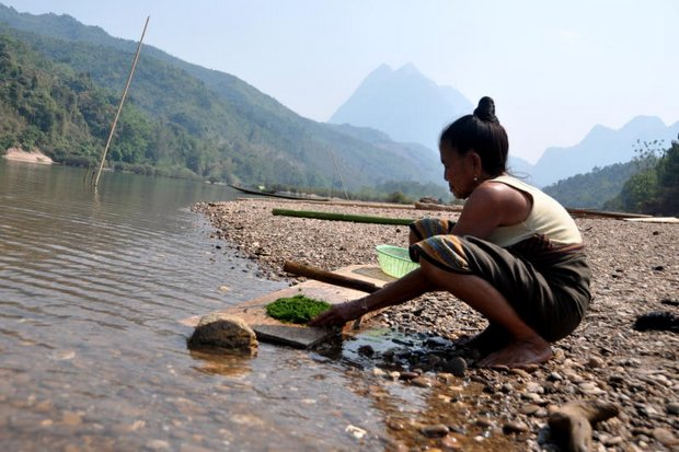 In this 2014 photo taken prior to the construction of a series of dams, a woman collects weeds from the Nam Ou River in Laos.(Photo courtesy International Rivers)
