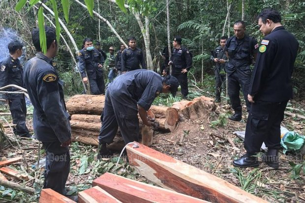 Rosewood poaching is a recurrent crime, but the forest monk's 120-rai forest is special. Above, military and forestry officials show a rosewood smuggling bust in Trat province in January of last year. (File photo by Panumas Sanguanwong)