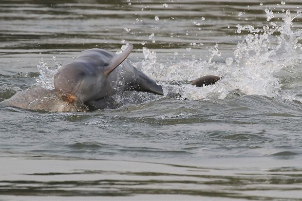 This July 2016 photo provided by World Wildlife Fund, shows dolphins in the Mekong river near Kratie province in the northeastern of Phnom Penh. (World Wildlife Fund via AP)