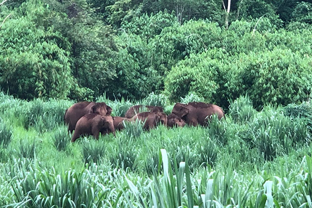 Wild elephants pillage a crop in tambon Tha Khanoon of Kanchanaburi's Thong Pha Phum district, where they have been raiding farms for the last month. (Photo by Piyarach Chongcharoen)