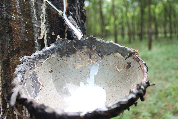 Rubber is harvested from a tapped tree in Cambodia. (Khmer Times photo)