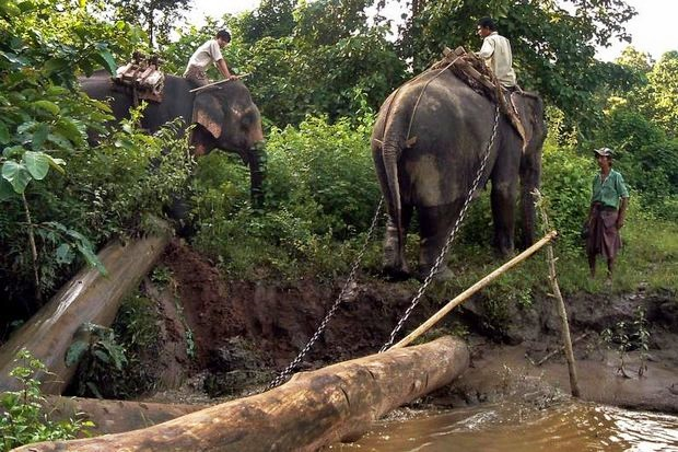 Workers use elephants for logging at an undisclosed location in Myanmar. (AFP file photo)