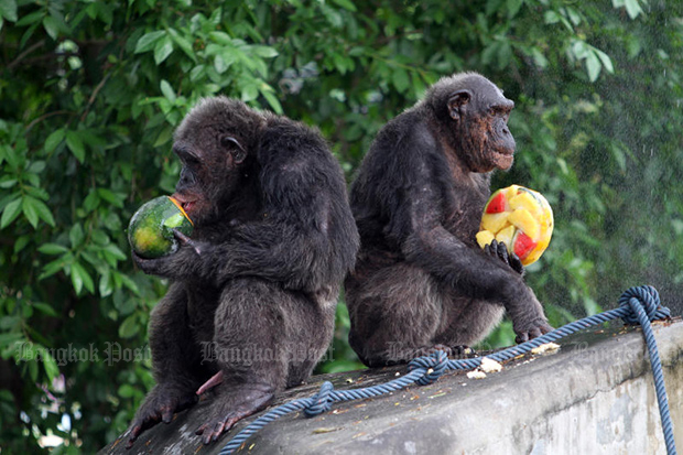 These chimps and all the other animals at Dusit Zoo will be placed in the care of other zoos after Dusit closes for good at the end of August, until construction of their new home in Pathum Thani is completed. (Bangkok Post photo)