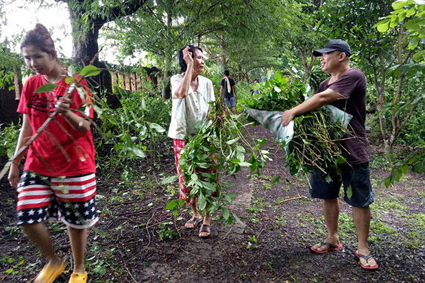 Villagers take ang kap nu medicinal saplings home from Wat Ratcharoen Satthatham in Prachin Buri's Sri Maha Phot district on Tuesday. The temple handed them out following a report the plant can be used to successfully treat cancer. ( Photo: Manit Sanubboon)