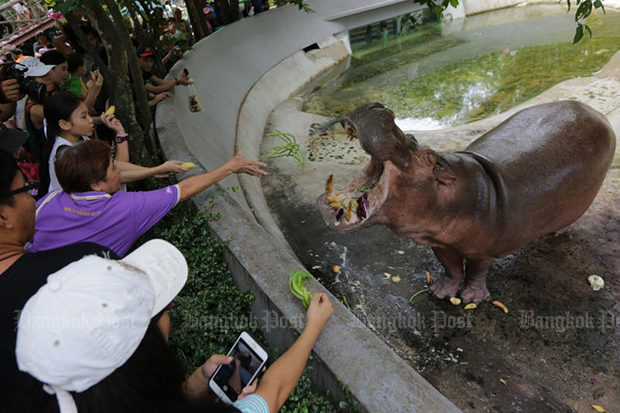 This hippo and other animals have more time to greet visitors after Dusit Zoo change its closing date from Aug 31 to Sept 30. (Photo by Wichan Charoenkiatpakul)