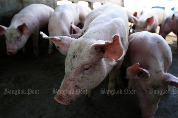 Livestock officials hope to prevent the spread of African swine fever to Thailand, amid concern over the emergence of the damaging virus in China.(Post Today photo)