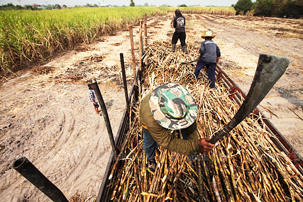 The annual sugar cane harvest begins next month, and the government says its new multi-billion-baht subsidies are to help farmers with 2019 planting. (File photo)