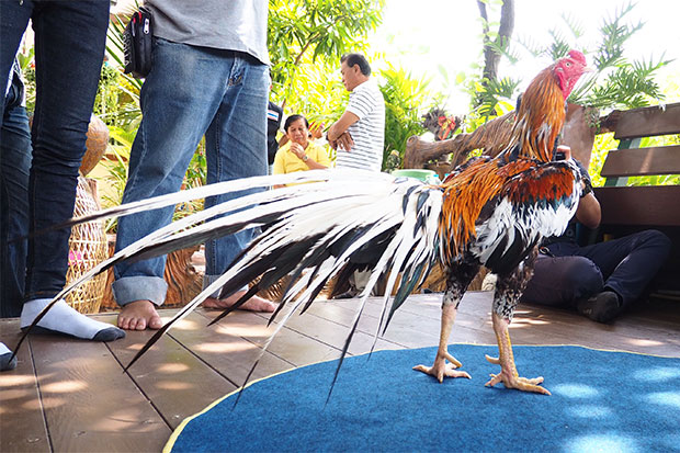 Chao Hong Thong, a prized example of the rare Luang Hang Khao (white-tailed yellow) breed of fighting cocks, struts his stuff in tambon Bang Phli in Samut Prakan. The  owner has rejected offers as high as 20 million baht from eager would-be-buyers.  (Photo by Sutthiwit Chayutworakan)