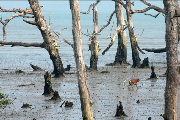 Borneo Mangrove Destruction