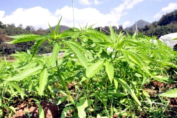 By New Year's Eve, it may be legal to grow small patches of marijuana (above) and kratom for research. It's not full legalisation by any stretch but it's the first relaxation of any drug law since the late 1960s. (File photo)
