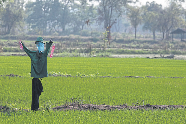 A scarecrow in a rice field in Khon Kaen, one of the provinces that was hit hard by drought in August and September. Photo: Thiti Wannamontha