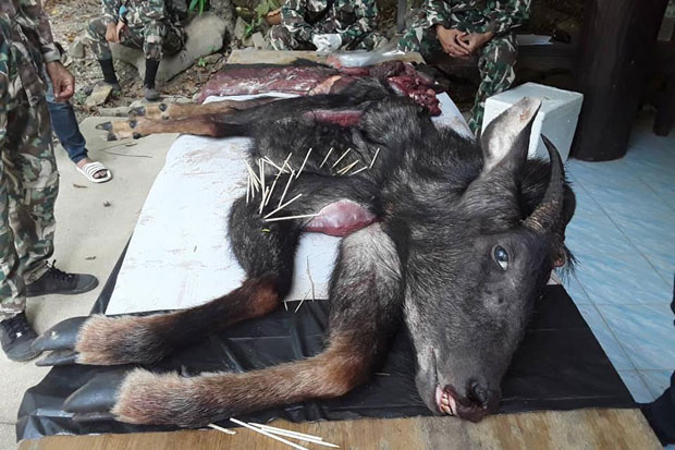 Park rangers show the head and four limbs of the hunted serow killed in Kaeng Krachan National Park, Phetchaburi province, on Saturday. (Kaeng Krachan National Park photo)
