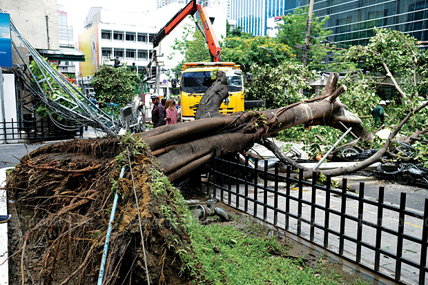 Fatal accident: Last year, the BMA estimates there were 1,925 trees in Bangkok at risk of falling. In this photo a large tree right in front of the Alma Link Building near the Central Chidlom Department Store was toppled by heavy rain and wind last year, resulting in a woman's death. Photo: Sarot Meksophawannakul