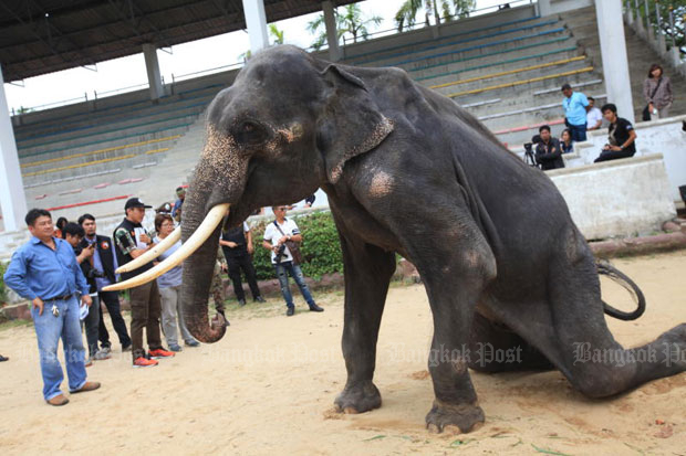 Wildlife officials inspect the skinny 18-year-old elephant at the Samut Prakan Crocodile Farm and Zoo in Samut Prakan province on Wednesday.The management was ordered to give it and another elephant a rest from performing, and change their diet. (Photo by Somchai Poomlard)