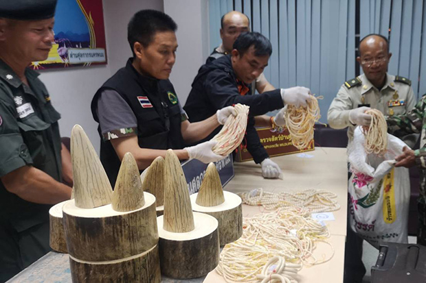 Authorities examine the trafficked ivory seized from a Vietnamese woman who arrived in Nakhon Phanom by bus from Laos on Sunday. (Photo by Pattanapong Sripienchai)