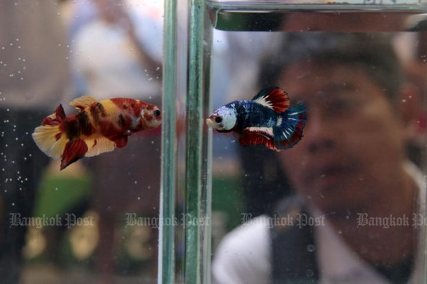 The Siamese fighting fish, or 'pla gud' is listed as a national aquatic animal.