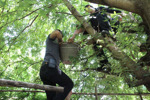Police seize a pot containing young cannabis plants hidden up in a tamarind tree in Muang district of Kalasin province in May. The 48-year-old man who grew it claimed he smoked it only to treat an illness. The National Legislative Assembly on Tuesday passed an amendment bill permitting the production and possession of cannabis and kratom for medical purposes. (Photo by Yongyut Phuphuangphet)