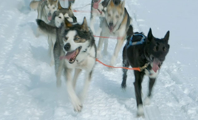 Dog sledders trek across the Arctic tundra