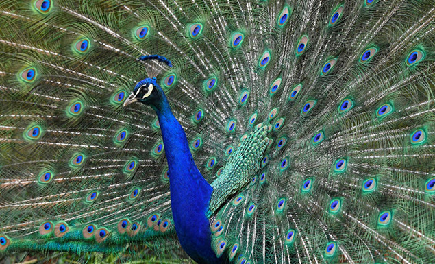 Peacock rescued from precarious perch in South Korea