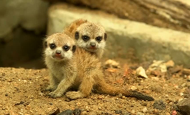 Baby meerkats melt hearts at Songkhla zoo